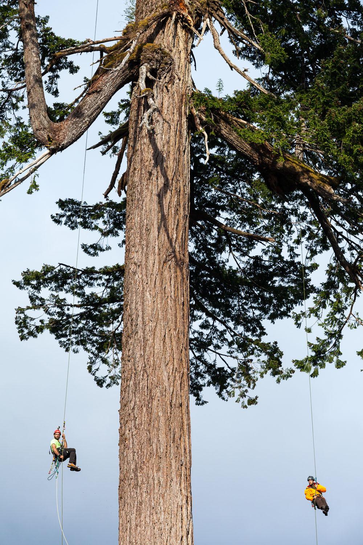 big-lonely-doug-record-tree-climb.jpg
