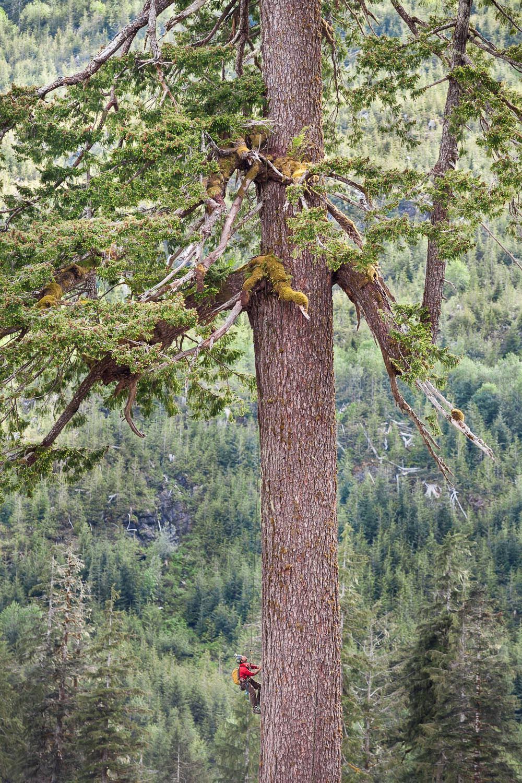 big-lonely-doug-tree-climber-tiny.jpg