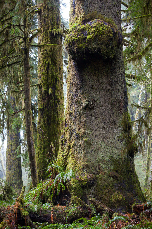 sitka-spruce-rainforest-nitinat-lake.jpg