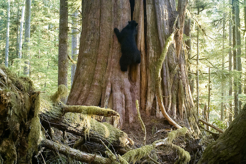 Even though old-growth forests are home much wildlife, we often don't see the creatures living their as they're gone or hiding by the time we're nearby. I had a vision though of capturing an image with a large, charismatic animal alongside a giant old-growth tree. After recalling a massive cedar I had seen in the Gordon River Valley that had claw marks leading up to a hole in the trunk, I set up a motion-sensitive trail camera on a nearby tree and waited a few months to come back. Upon later checking the camera, I was thrilled to find this photo of a black bear climbing the tree among many others revealing the life that goes on in the forest while we're not around. I hope to assemble a higher quality trail camera setup in 2016 and capture more unique shots like this one.