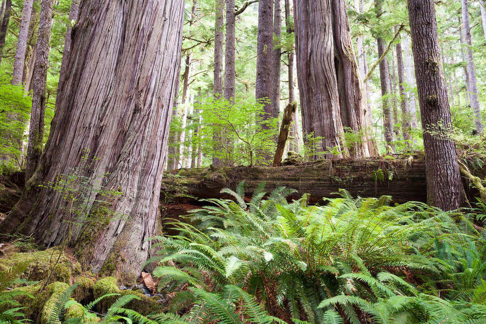 Every now and then, all the quintessential elements that define a landscape or ecosystem finally come together into one scene, like this section of coastal temperate rainforest in the Gordon River Valley near Port Renfrew. It showcases, in a beautiful way, the diversity that makes old-growth forests unique, such as; various-aged trees ranging from young to very old, large woody debris and nurse logs, and a luxuriant plant understory. Second-growth tree plantations, logged again ever 30-80 years on the coast, aren't allowed enough time to regain the unique characteristics of the old-growth ecosystem that was lost. We must protect these rare and endangered ancient forests before it's too late.