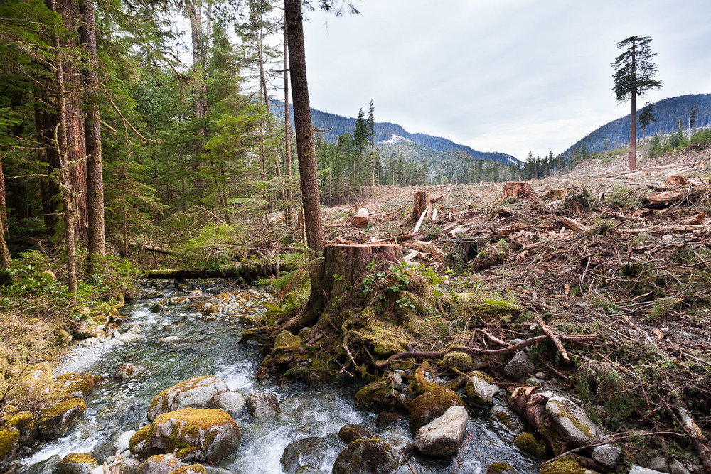 clearcut-logging-creek-big-lonely-doug.jpg