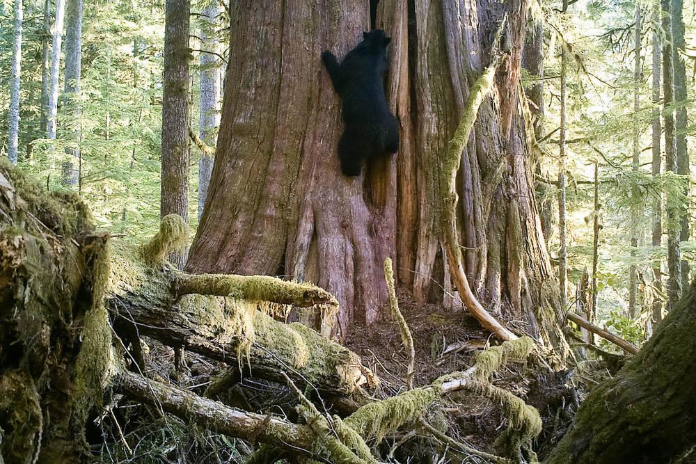 Black Bear Climbing Tree Vancouver Island