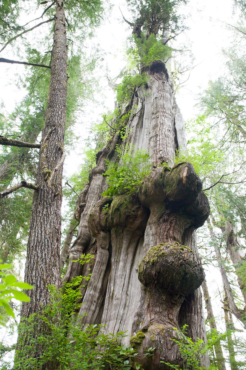 Sometimes new big trees are hiding in plain sight! This incredible redcedar grows maybe 100ft from the main parking lot at Carmanah. It's about 40ft around, or 13ft in diameter, and covered in giant burls and epiphytes.