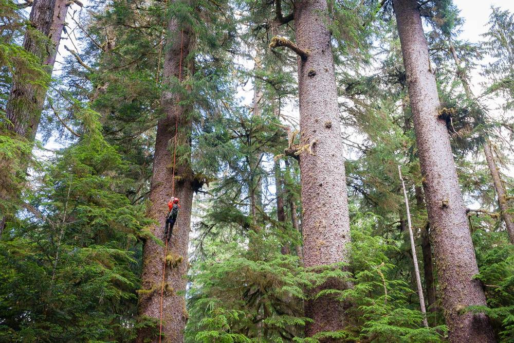 carmanah-valley-tree-climbing-sitka-spruce-2.jpg