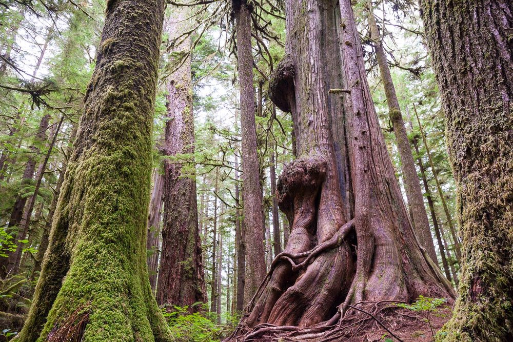 avatar-grove-gnarly-cedars-fir.jpg