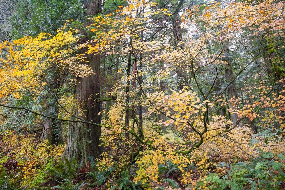 vine-maple-redcedar-echo-lake-forest.jpg
