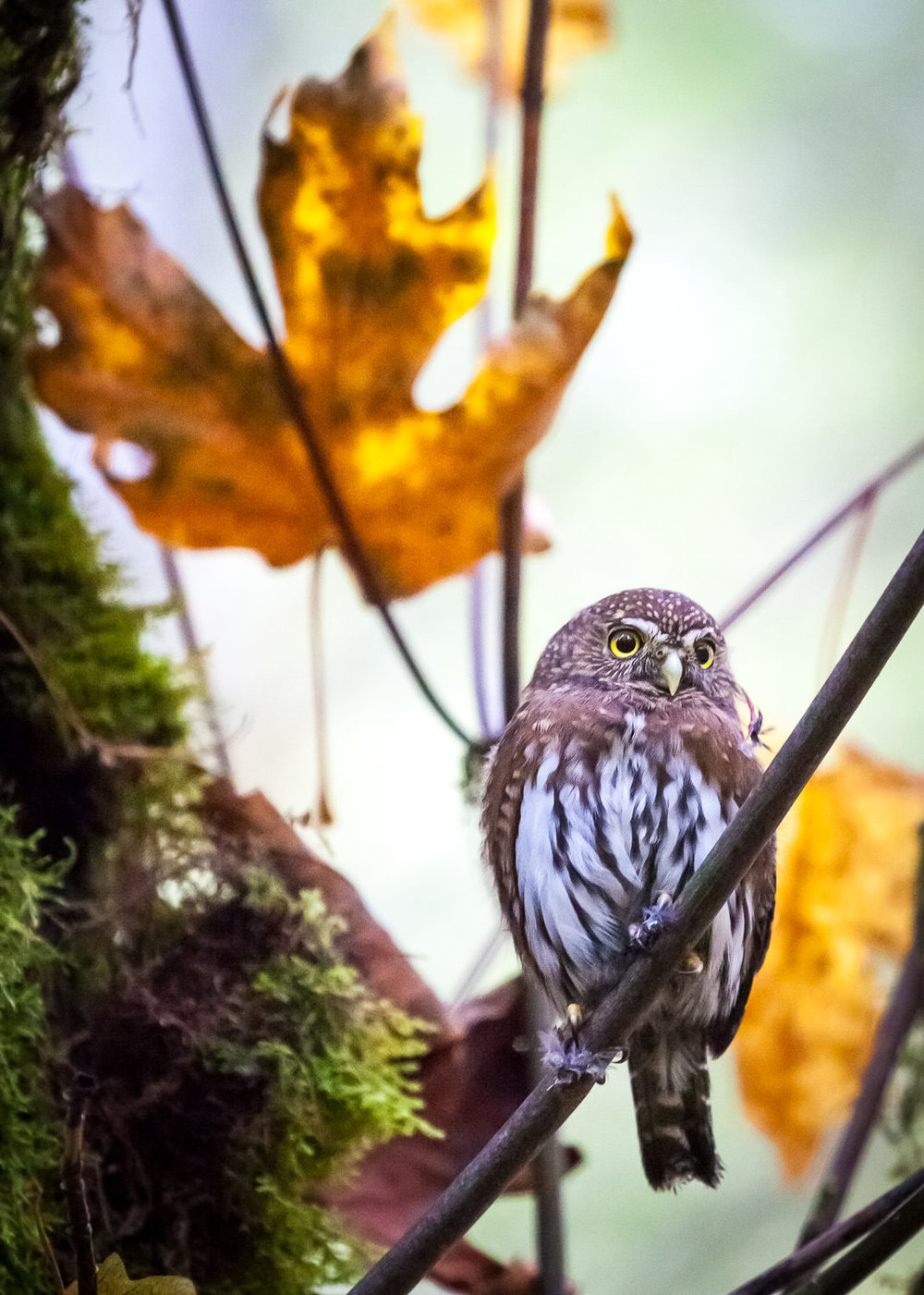 northern-pygmy-owl-vancouver-island-bc.jpg