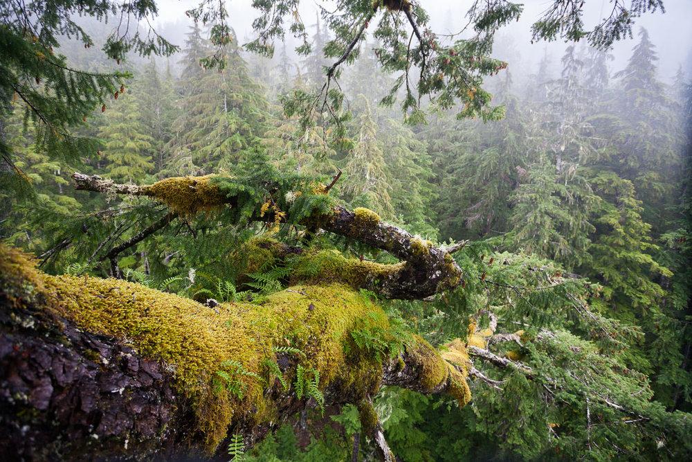 douglas-fir-branch-moss-epyphites.jpg