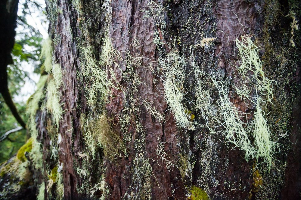 The bark was covered in an amazing tapestry of lichens all the way to the top.