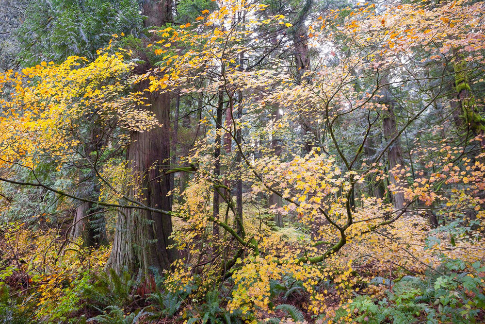 The evergreen forests of coastal BC are dominated by a million shades of green and brown, so the autumn yellows of this vine maple (Acer  circinatum)  in the old-growth forests around Echo Lake appeared as though someone had splashed brightly coloured paint across the canvass of the woods. I love the way the tree's branches flow and curve so gracefully as well. Nature is the world's greatest artist!  Canon 5D MK2 | 24-70 f/4L IS lens | 1/125 sec | f/5.0 | ISO 1600.