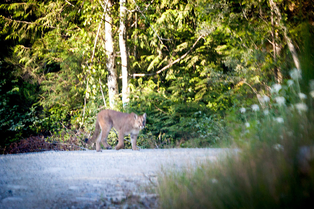 I've waited and dreamt my whole life o a cougar and this year, it finally happened. While heading out of the Walbran Valley innot one but two cougars walked in front of our vehicle. After being passed my gear, which was packed away in the back of the van after a long weekend of shooting, I franticly worked to assemble my camera and lens in time to get a shot. In the end, I only had time to get this one image, which was taken through the front window of my van while the cougar stared directly at us. From a photographer's perspective, it would have been nice to get a clearer image, but on a personal level, I'm just extremely grateful to have seen them with my own eyes - a moving experience that I will never forget.  Canon 5D MK2 | 70-200 f/4L IS | 1/1000 sec | f/4 | ISO 1600.