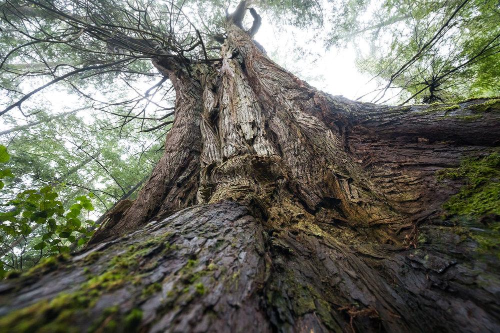 looking-up-western-redcedar-tree.jpg