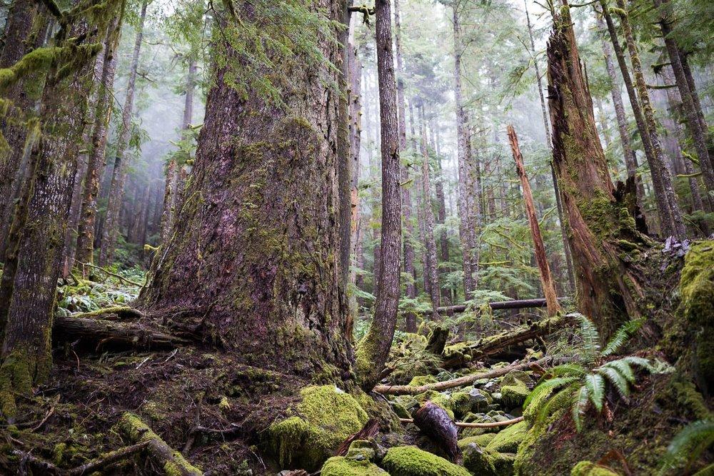 douglas-fir-temperate-rainforest-bc.jpg