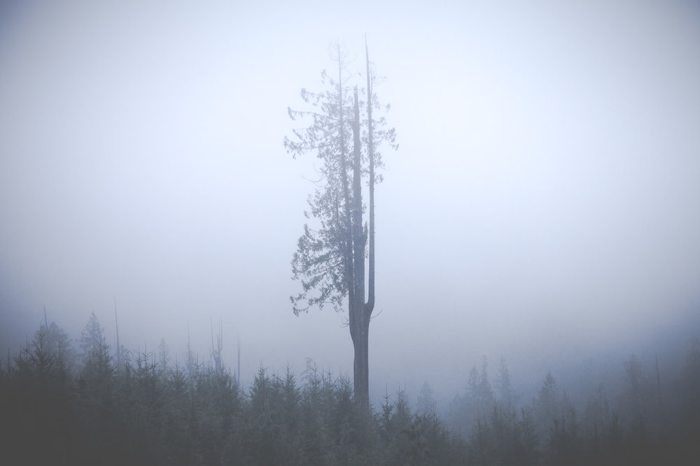 lone-tree-foggy-cedar-port-renfrew.jpg