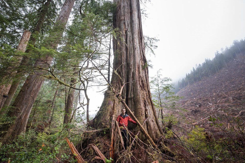 While hiking along the edge of a recent old-growth clearcut near Port Renfrew, I was struck by the split view created by the trunk of a giant cedar tree. On the left, a window into a timeless grove of rare, valley bottom ancient forest. On the right, a scarred landscape, stripped of its once-grand flora and fauna. In the middle, an ancient tree - half its roots planted in a peaceful world it has known for centuries, the other on the edge of the ever-encroaching industrial world. With less than 10% of our valley bottom old-growth forests left on Vancouver Island, which world will prevail?