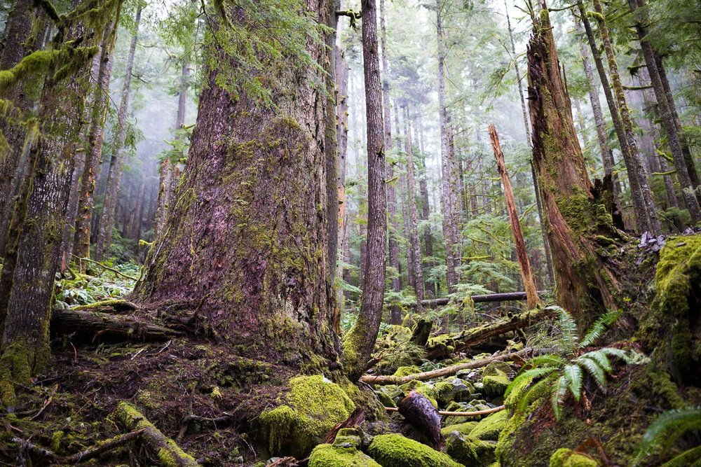 The true magnificence BC's coastal old-growth forest is something that needs to be experienced in person - that humbling feeling of being dwarfed by monumental trees, while the fog floats through the forest and quiet solitude surrounds you. I feel this image though, from the slopes of Edinburgh Mt near Port Renfrew, conveys some sense of the timeless beauty that can be found here.