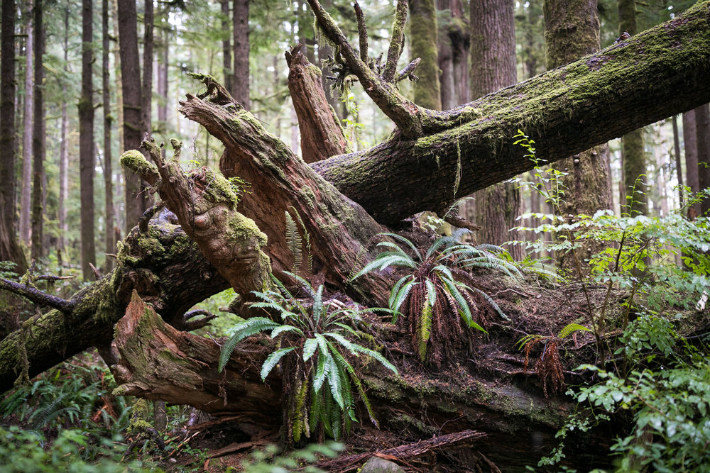 Slowly evolving over the course of millennia, our ancient forests form a beautiful organic tapestry, woven from the many cycles of life and death. Mother nature truly is the world's greatest artist and this nurse log seen here at the Avatar Grove is one my favourite's of her work.