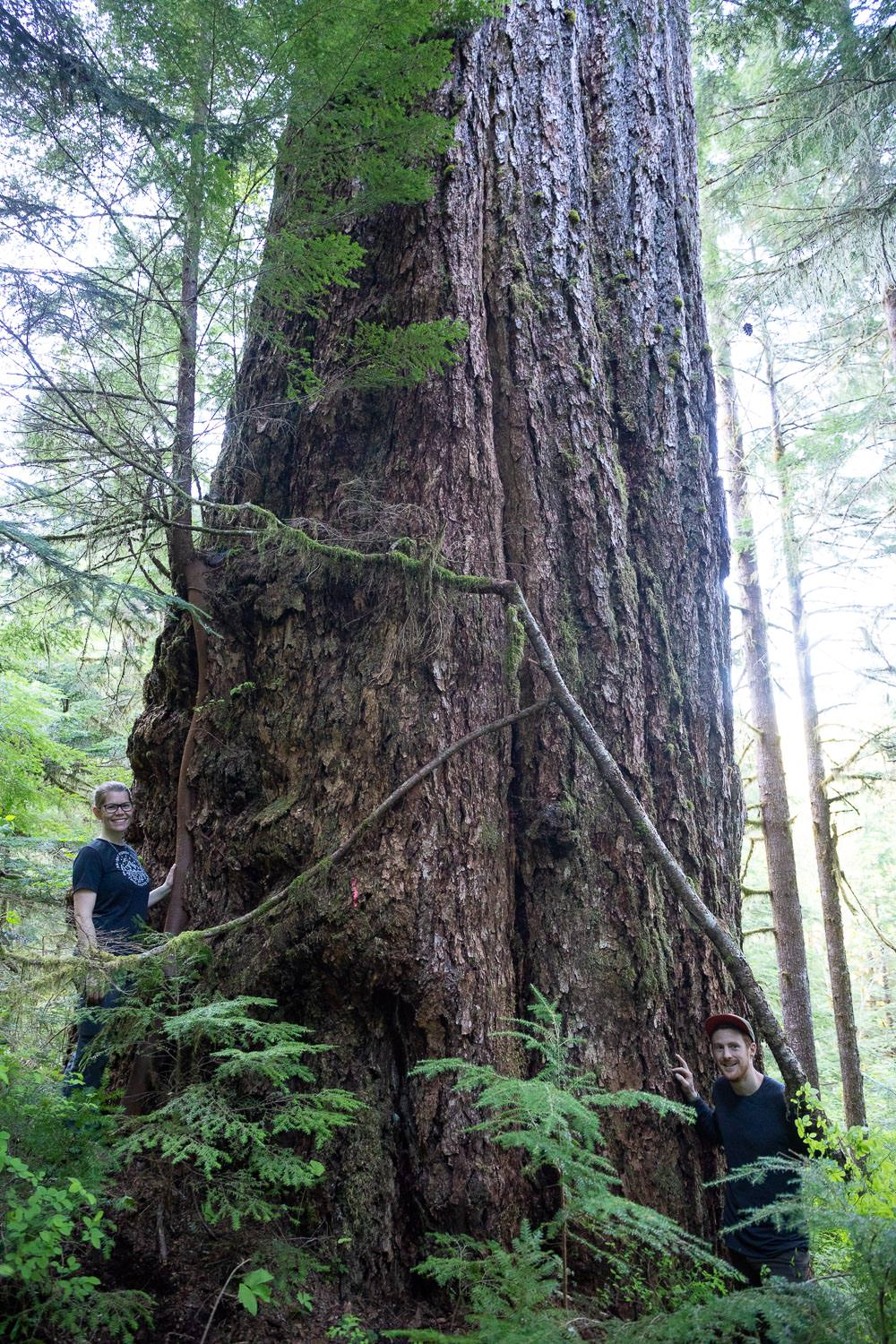 nahmint-valley-alberni-giant-tree-record-size.jpg