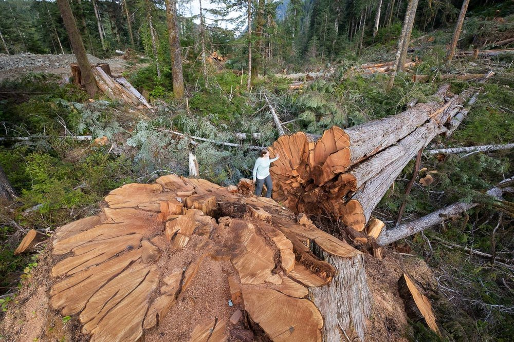 nahmint-valley-port-alberni-huge-tree-logging.jpg