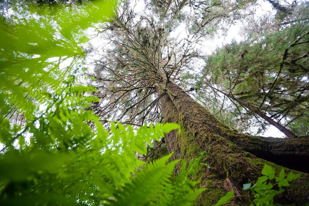 carmanah-valley-spruce-tree-ferns.jpg