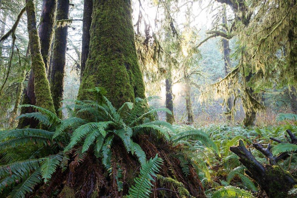 fern-gully-grove-spruce-port-renfrew.jpg