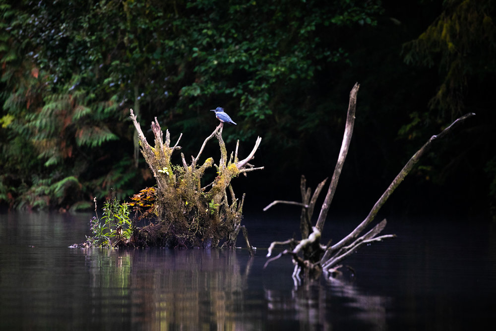 Much of our time in the Great Bear Rainforest was spent floating up and down remote rivers as quietly as we could, hoping to catch a glimpse of local wildlife. Bears were often the main focus but there were many other creatures big and small that we got to see as well, like this kingfisher perched on the roots of an old snag. I really love the balance of elements in this scene and the colours as well. Reminds me somewhat of a painting.