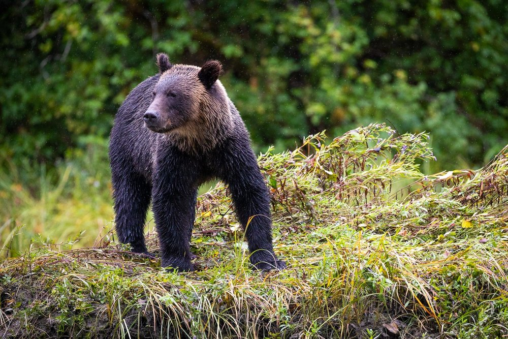 A young male grizzly bear leisurely walks along the banks of the Khutze River looking for salmon. This was my first time seeing a grizzly up close and also the first grizzly we saw upon arriving in the Great Bear! It would also prove to be one of the best photo opportunities over the whole trip. Despite their immense power and potential for ferocity, it was amazing to spend so much time in close proximity to these animals and see just how gentle and playful they can also be.