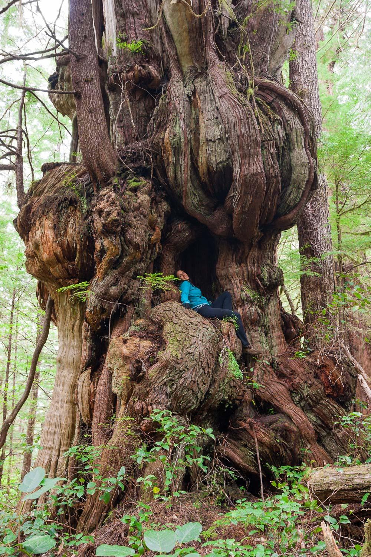 bulbous-cedar-tree-cheewhat.jpg