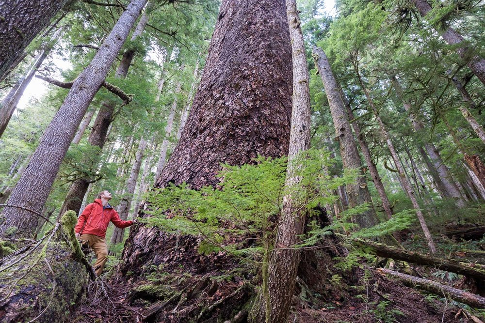 "Just 50 meters away from the active cutblock stands this Douglas-fir tree, the 6th widest Douglas-fir tree on record, according to the BC Big Tree Registry, and the 7th widest when including the Alberni Giant in the Nahmint Valley. While the near record-sized tree is located within a Wildlife Habitat Area, it remains vulnerable to future logging. Circumference: 33'9"". Diameter 10'8""."