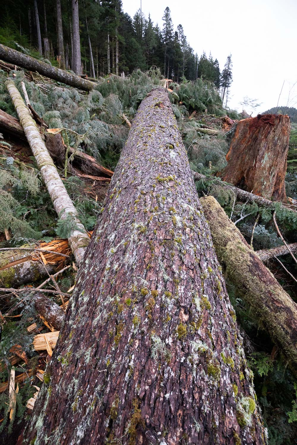 An extremely rare old-growth Douglas-fir tree (1% remain) measuring 6ft wide cut down.