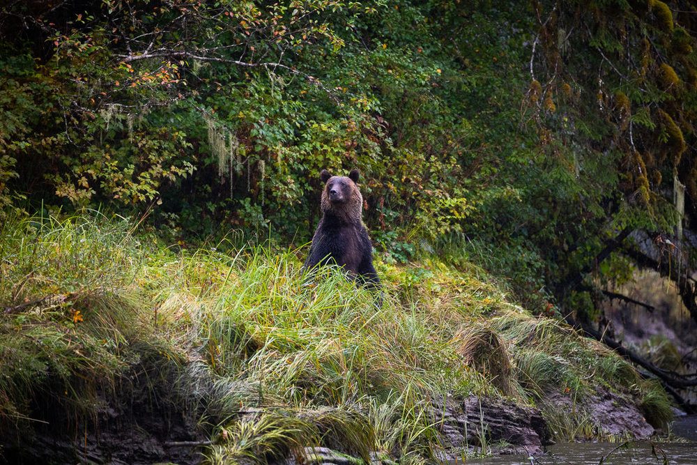 A young male grizzly looking for salmon along the Khutze River.