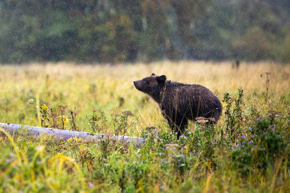 Bear cub in the rain