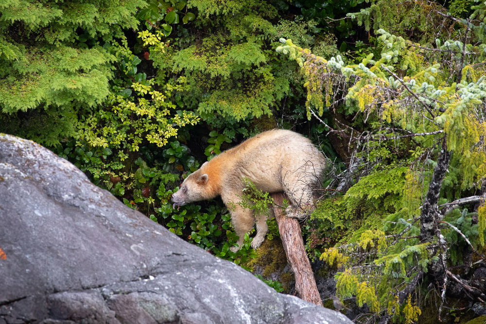 Spirit Bear named Maah searching for salal berries