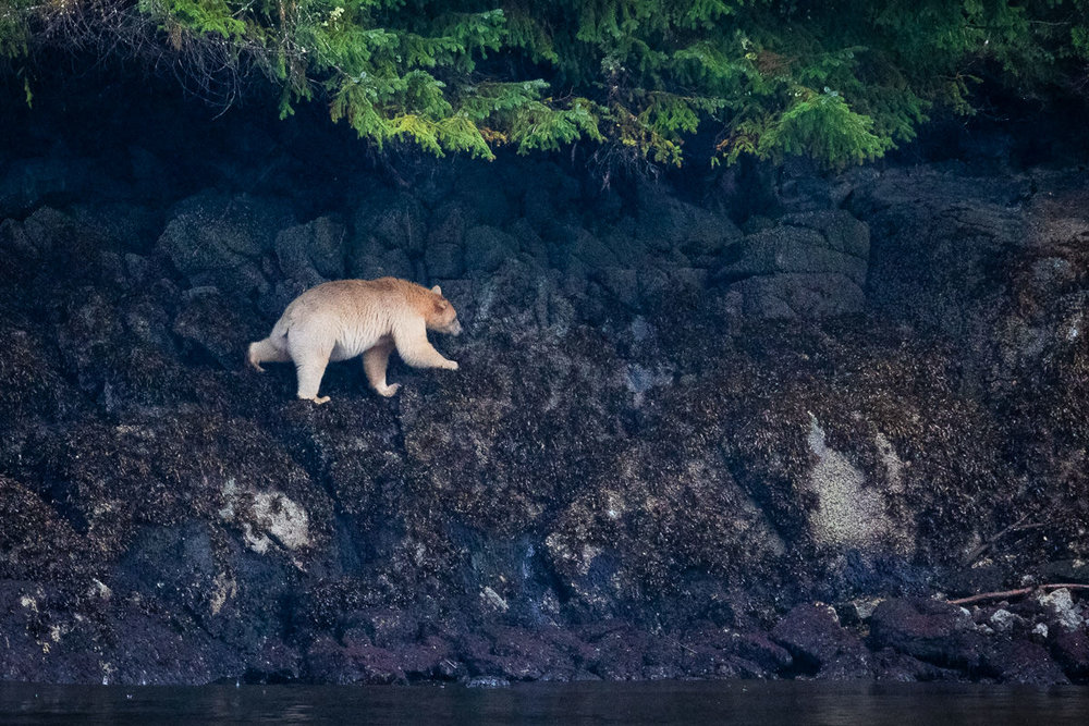 Great-Bear-Rainforest-1-Sept-2018-838.jpg