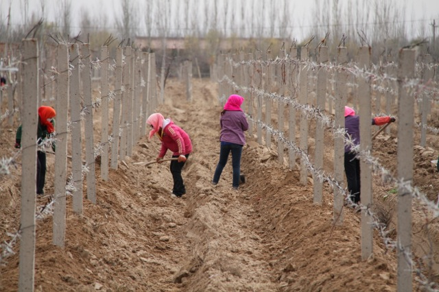 Workers bury vines for winter, Ningxia Province, North-West China