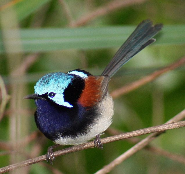 Red Winged Fairy Wren