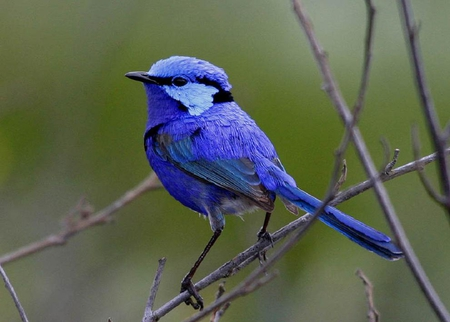 Splendid Fairy Wren