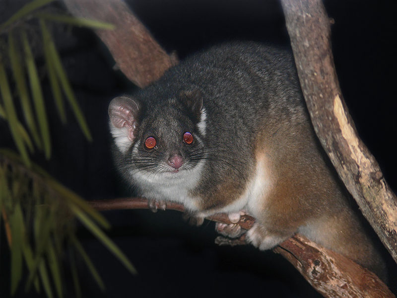 800px-Possum_Ring-tailed444.jpg