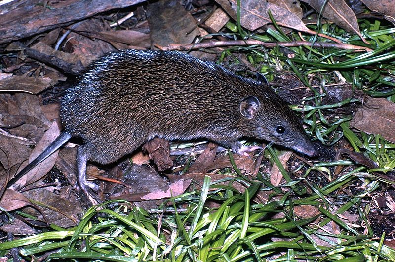 800px-Southern_Brown_Bandicoot_Victoria.jpg