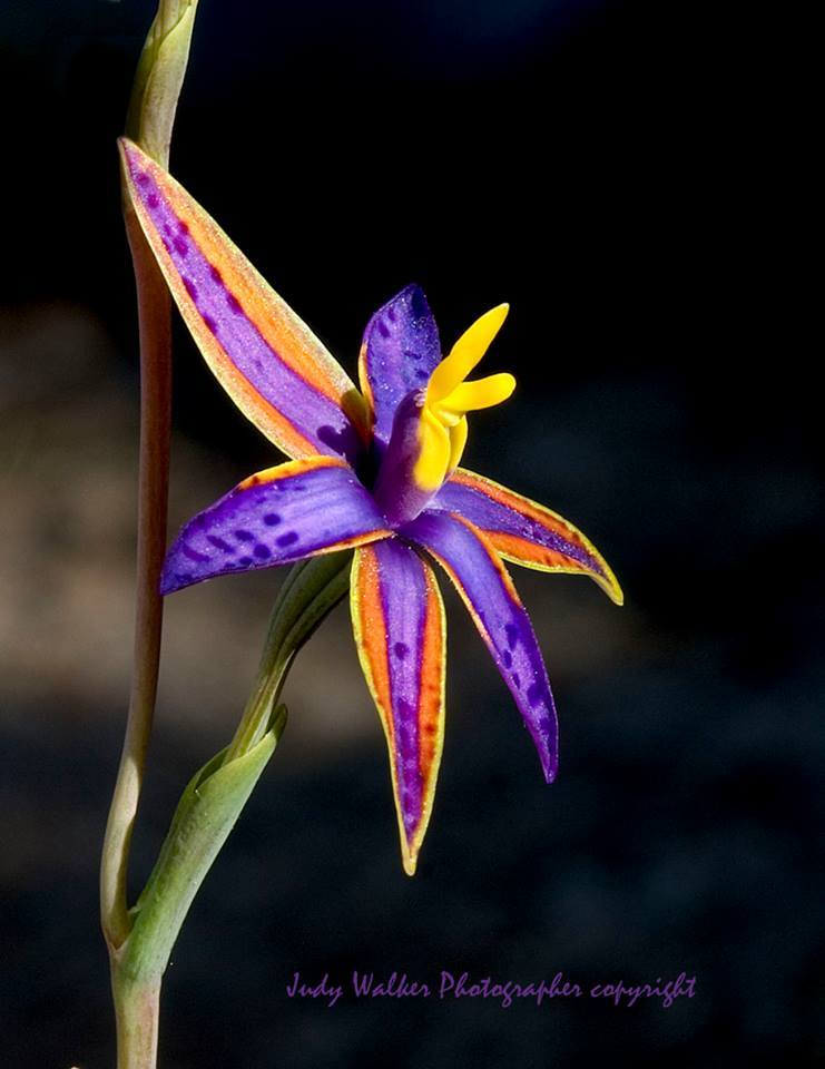 Queen Sheba Orchid