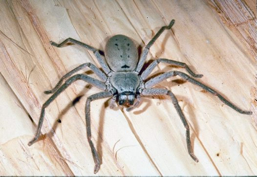 Huntsman spider Photographer: M Gray © Australian Museum -