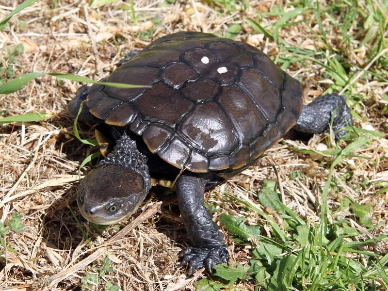 adult-tortoise1.jpg
