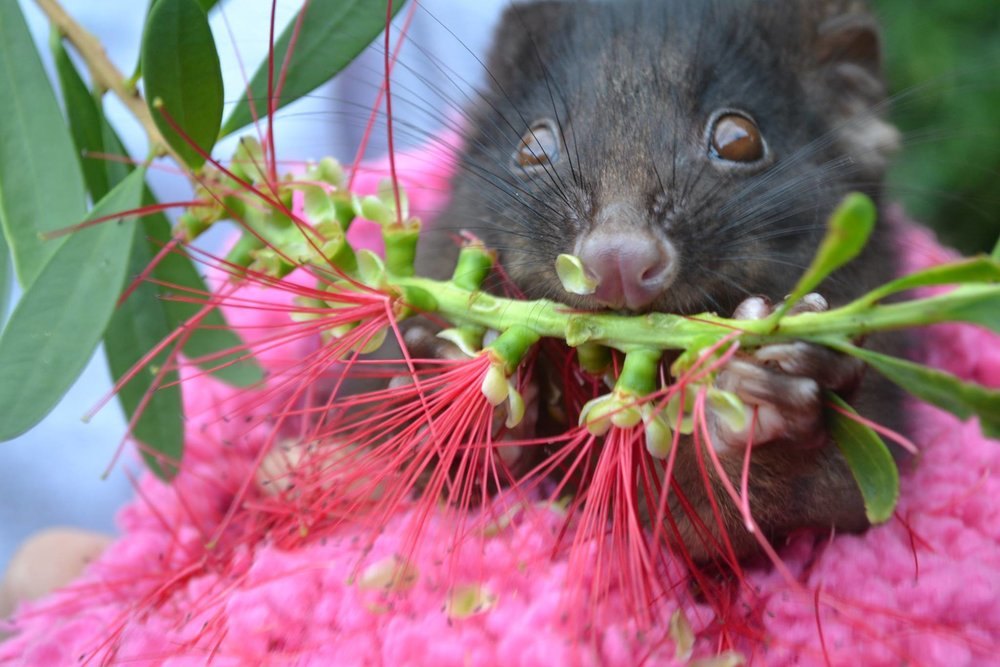 Phoebe rescued ringtail possum at HideAway Haven