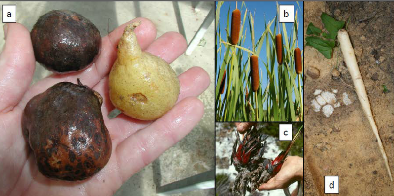 Noongar Aboriginal carbohydrate staples from south-western Australia. (a) Karno (left, Platysace cirrosa ) and youck ( Platysace deflexa ); (b) yanjit or yandjiti ( Typha ); (c) mean ( Haemodorum ); (d) warran or warrine ( Dioscorea yams). Photos: (a) Geoff Woodall; (b) and (d) Stephen D. Hopper; (c) Kingsley W. Dixon.  Source: www.researchgate.net