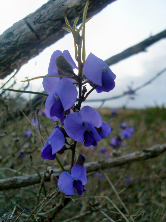 Hovea in Albany