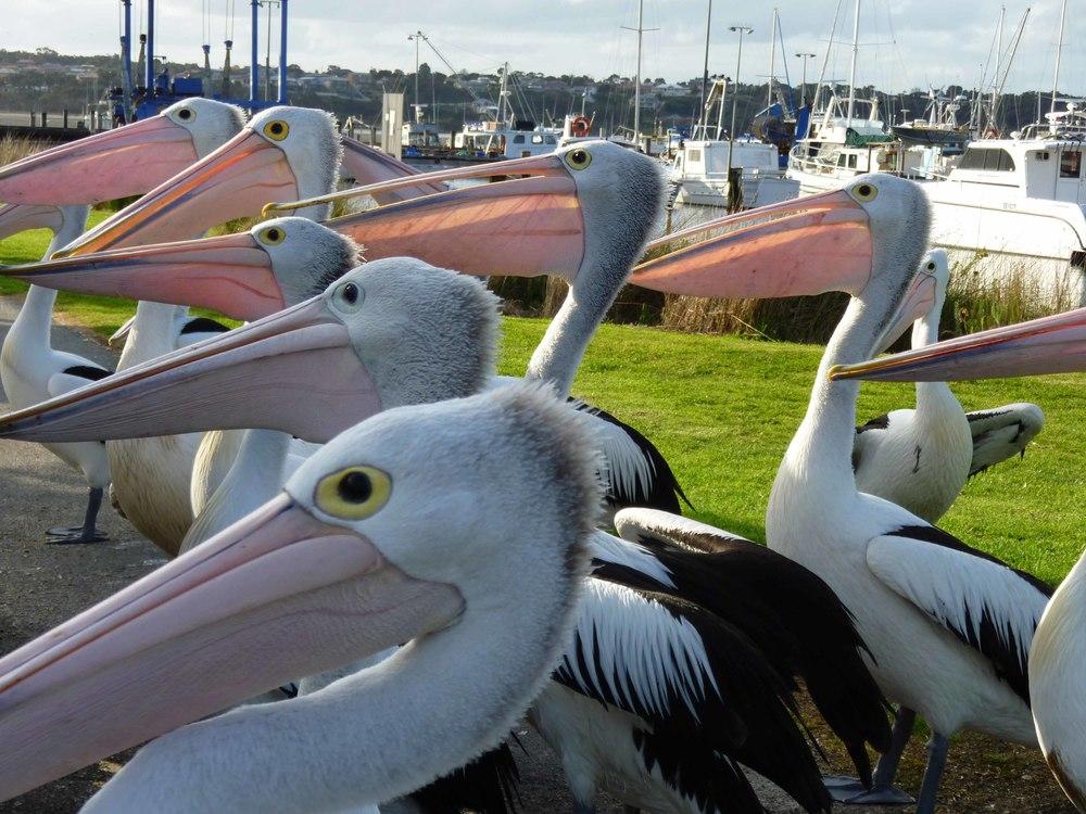 Pelicans+1.jpg