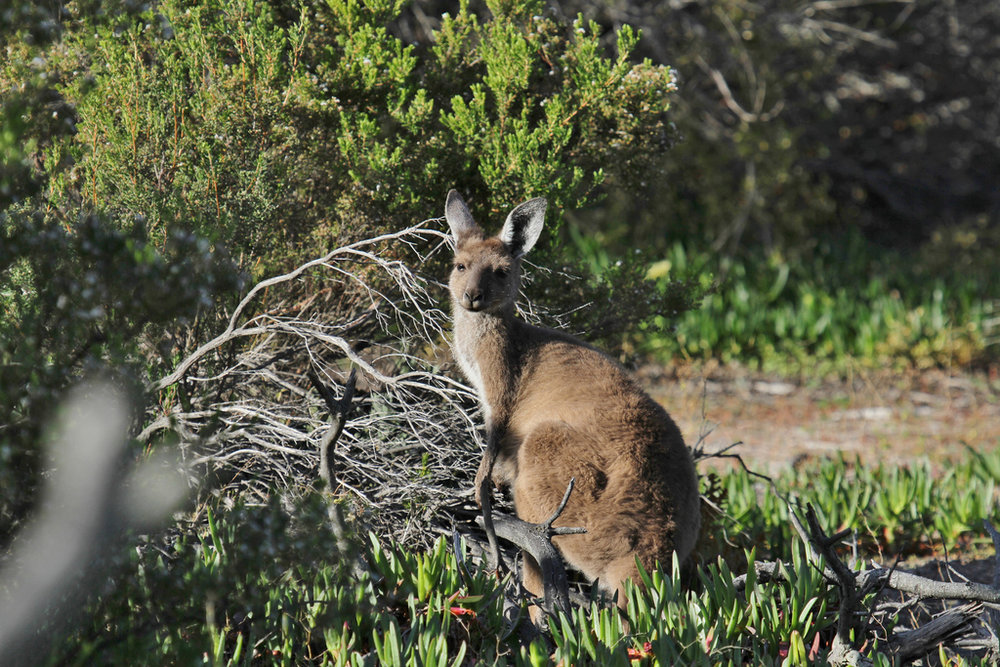 Western Brush Wallaby.jpg