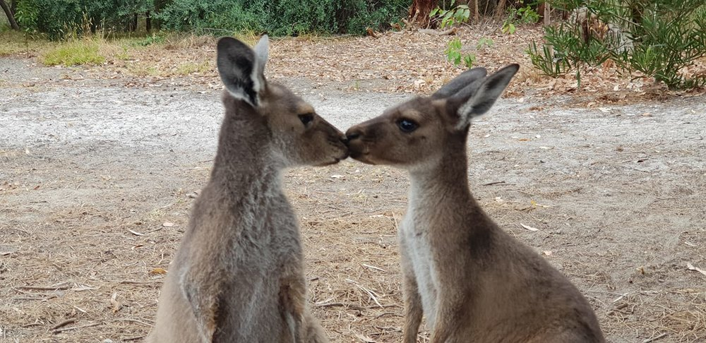 Charlie and Caree Rescued Joeys at HideAway Haven