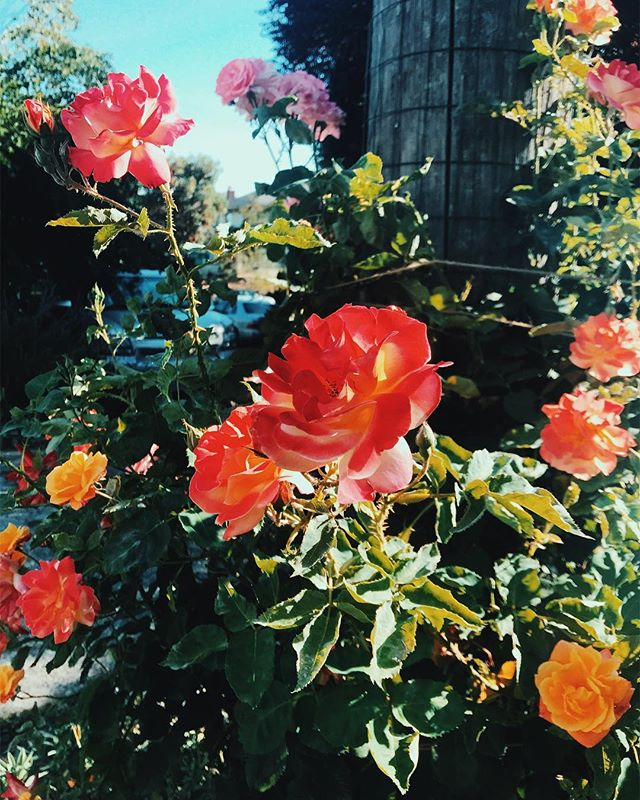 wild roses in Upper Queen Anne a few weeks ago. can't believe by the end of the month I'll be back living in my favorite neighborhood in the city 💓 #iloveyouqueenanne